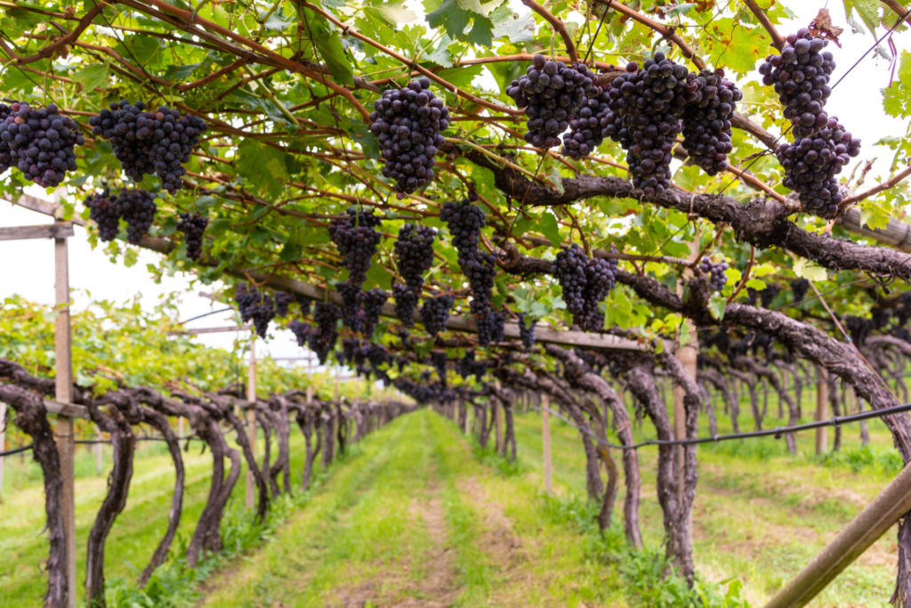 An Introduction To: Trellising and Training Systems